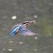 Kingfisher -202005260222.jpg