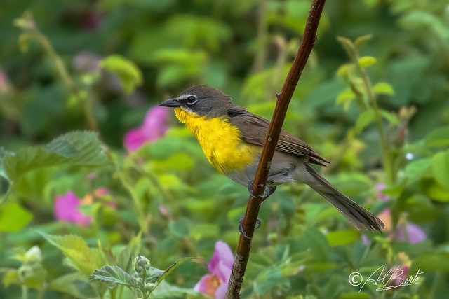Yellow-breasted Chat / Ictérie polyglotte