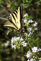 tiger swallowtail yerba santa 1574