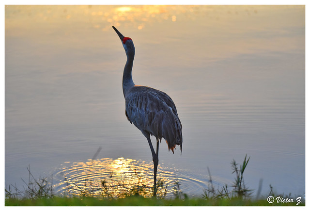Sandhill Crane, Lake Mary Florida -239