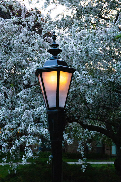 White tree flowers and Lamp at dusk