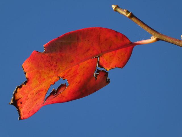 Autumn leaf, late afternoon.