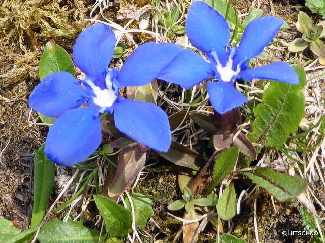 Frühlings-Enzian, (Gentiana verna)Sörenberg LU - Emmensprung  OW