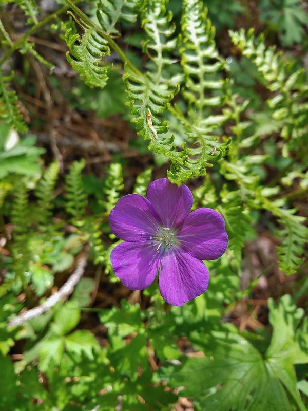 Oregon geranium