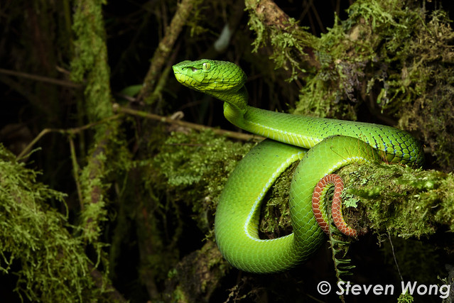 Cameron Highlands Pit Viper - Trimeresurus nebularis