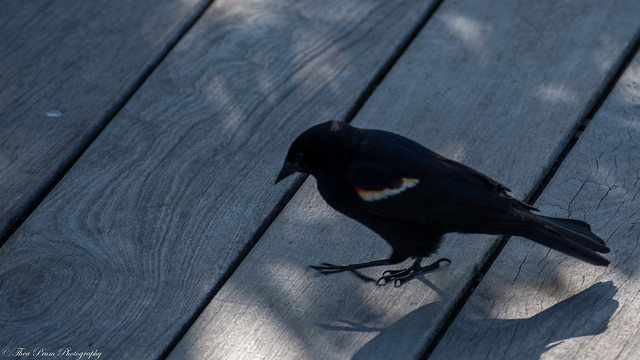 A red winged black birds getting real close to us.