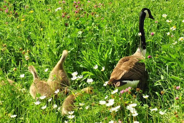 Mai 2020 ... Vater und Mutter Kanadagans und ihre 10 Gössel ... Foto: Brigitte Stolle