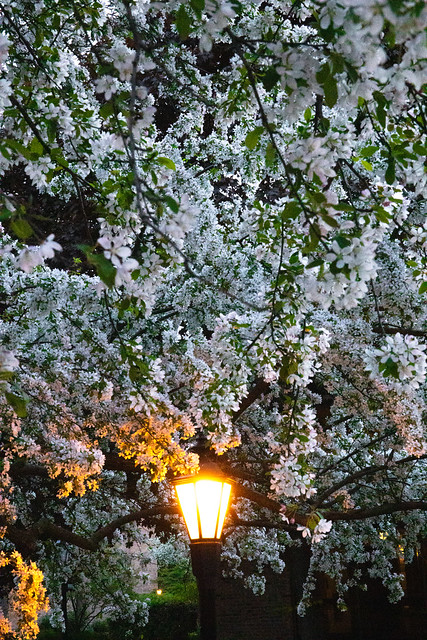 Light kissed tree flowers at dusk