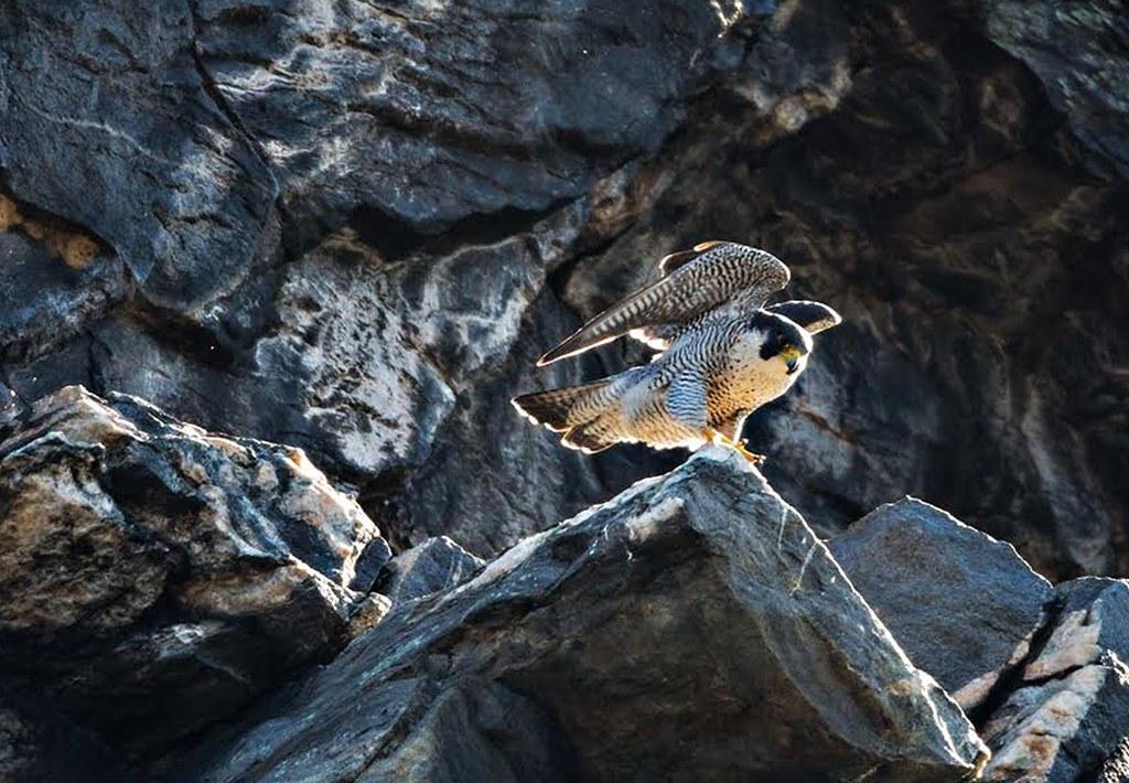 photo of peregrine falcon