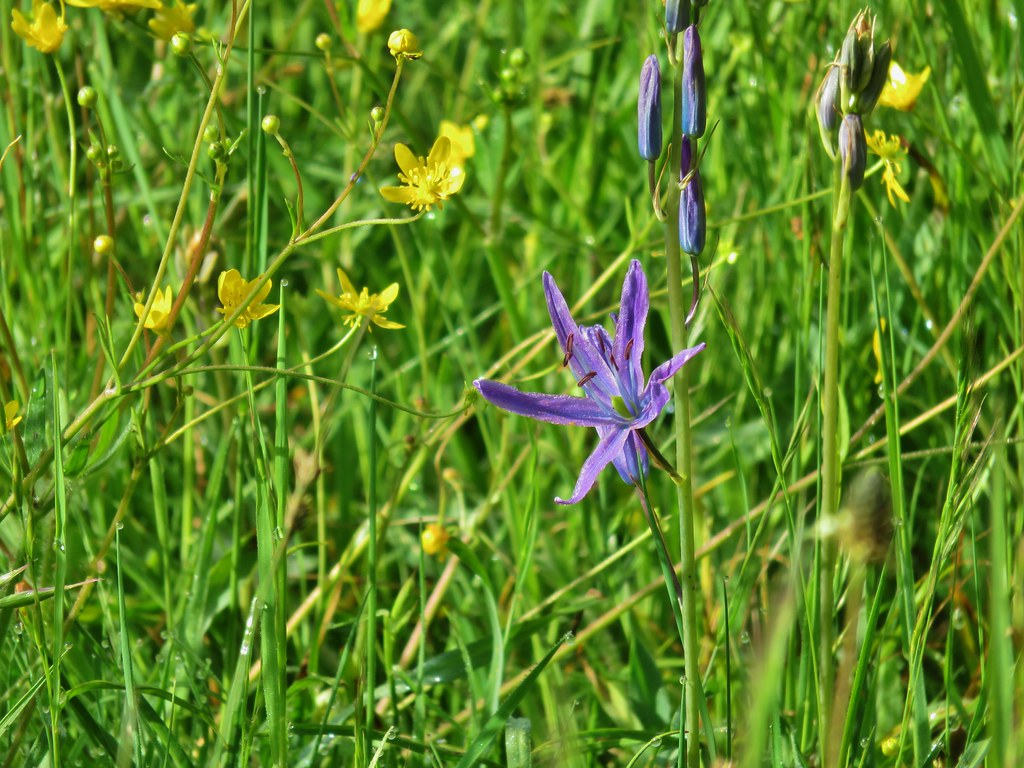 Western buttercup and camas
