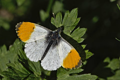 orange tip (Anthocharis cardamines)