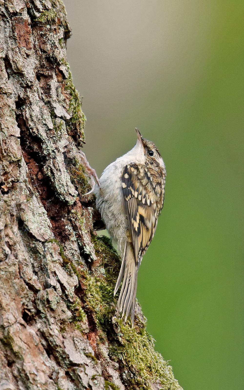 Tree Creeper
