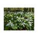 Trillium grandiflora flowers, Arboretum