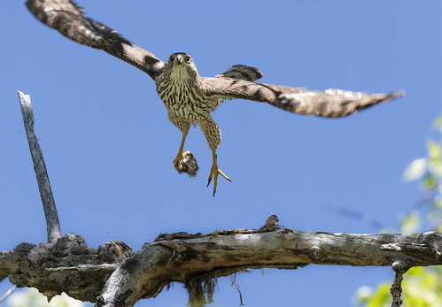 juvenile_coopers_hawk_in_flight_with_prey-20200526-100