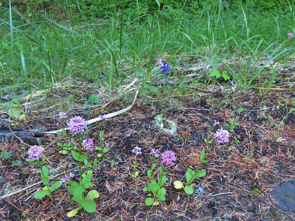 Plectritis and larkspur