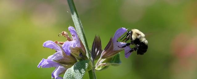 Salvia officinalis And Bee