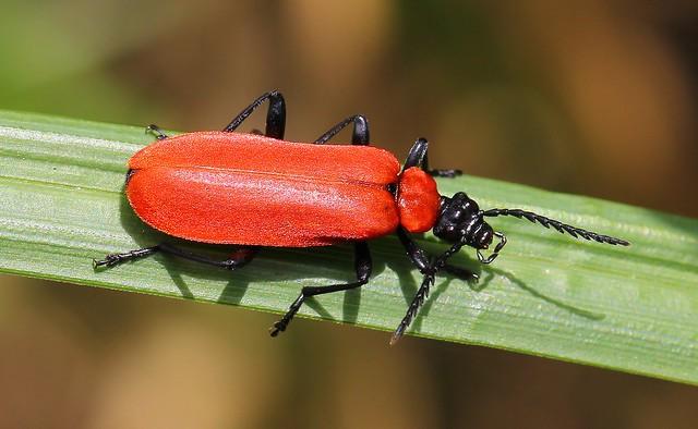 Black Headed Cardinal Beetle - Pyrochroa coccinea 170520 (1)