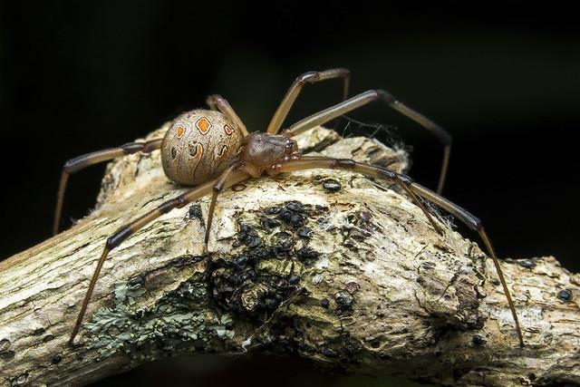 Latrodectus geometricus │ Brown widow spider