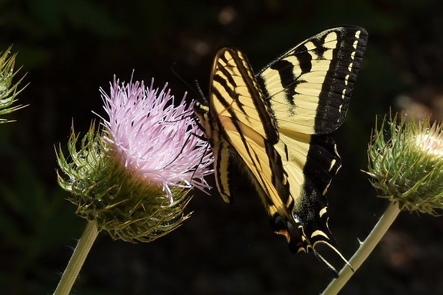 Western Tiger Swallowtail on native California Thistle