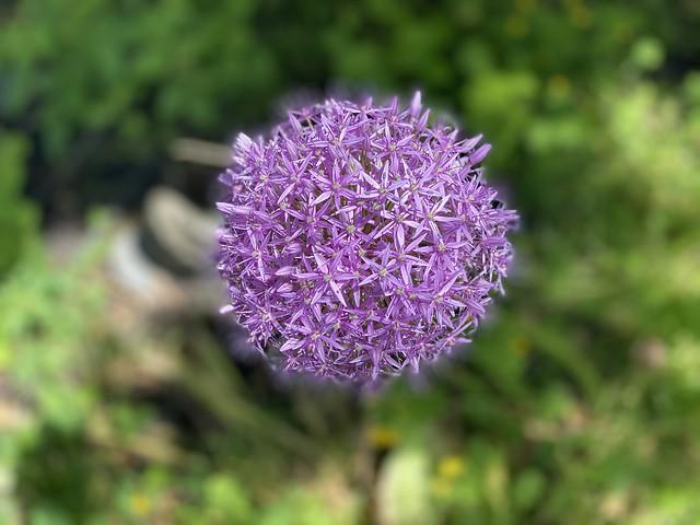 Ilium.  #flower