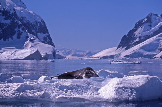 Leopard Seal Nap