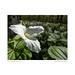 Trillium grandiflora flower, Arboretum