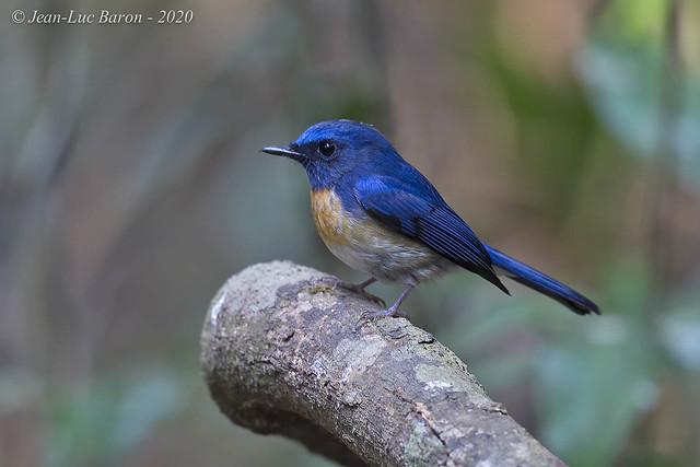 Hainan Blue-Flycatcher (klossi) - Cyornis hainanus klossi