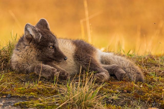 Arctic Fox Kit