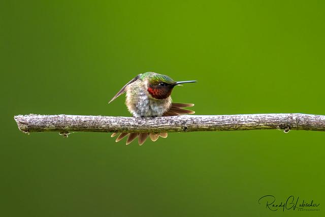 Ruby-throated Hummingbird - Archilochus colubris | 2020 - 4