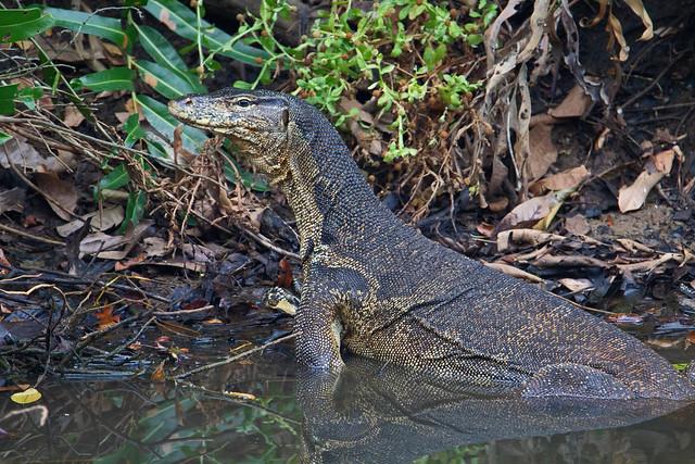 Asian water monitor - Sungai Batu mangroves, Merbok, Kedah, Malaysia - Feb 2020