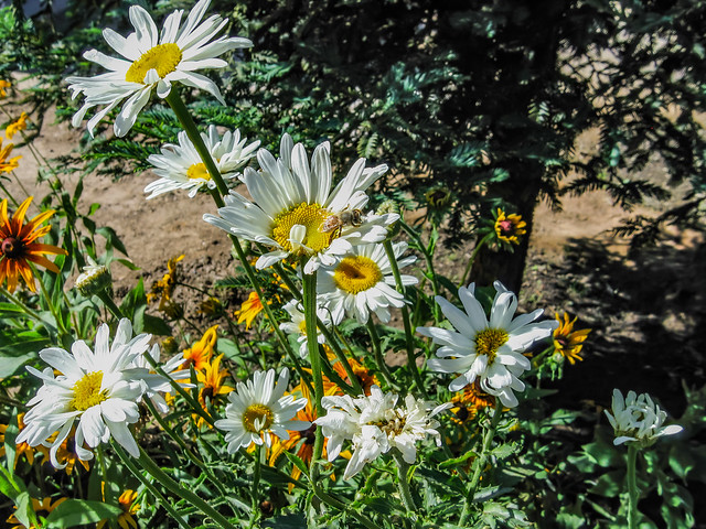 Honey Bee On Daisy 2008 06 08 01