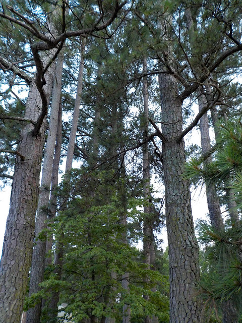 Tall Pine Trees.
