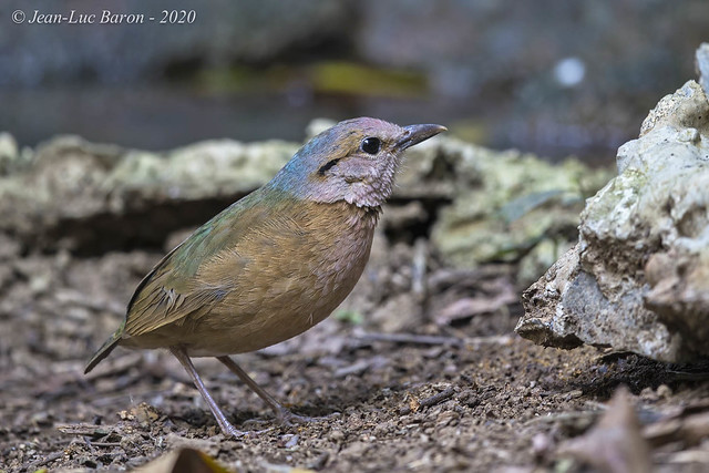 Blue-rumped Pitta (nominate) - Hydrornis soror soror