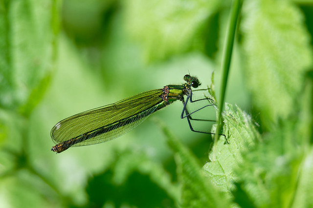 Banded Demoiselle, female (Calopteryx splendens) Blåbandad jungfruslända