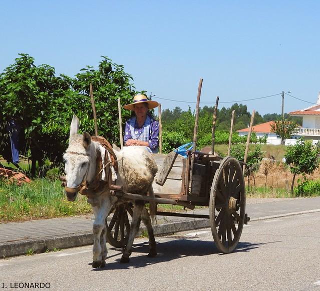 BURRO  ( equus africanus asinus )  PUXA  CARROÇA !!