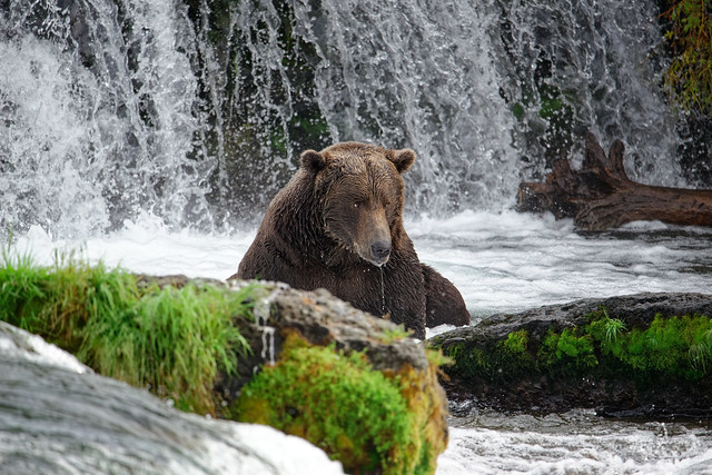 Hanging Out at Brooks Falls in the Search for Salmon (Katmai National Park & Preserve)