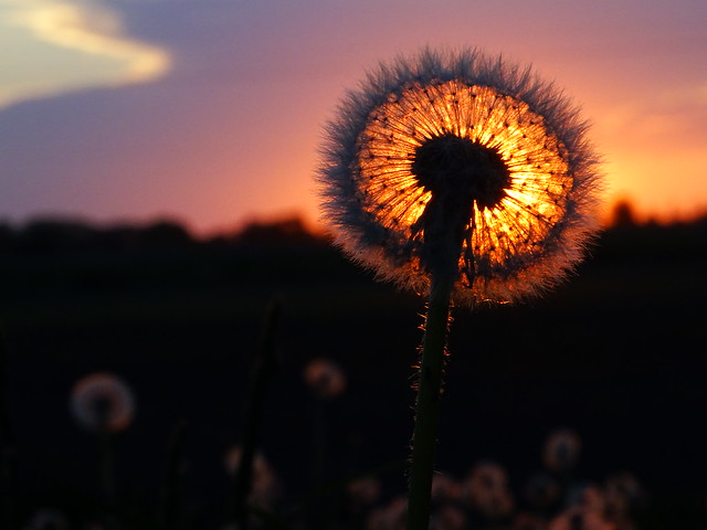 Sunset behind the dandelion