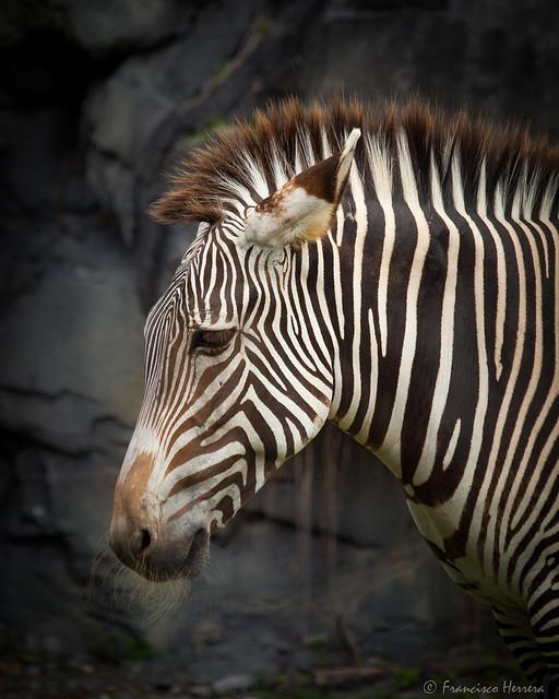 Grévy's zebra - Equus grevyi