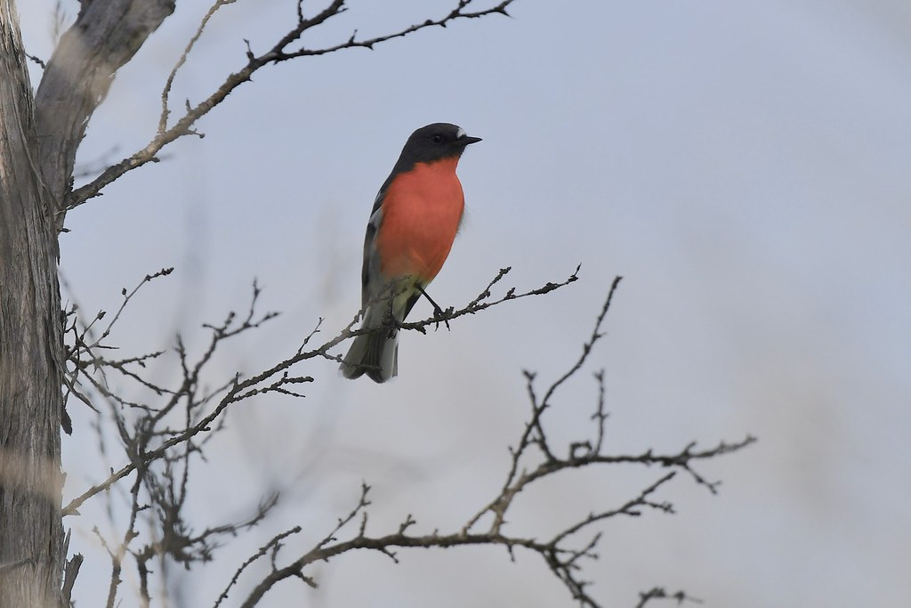 Flame Robin ( Male )
