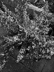 Rosemary Monochrome