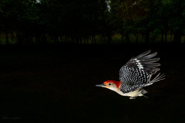 The Woodpeckers flight