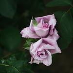 Rose 66