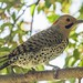 IMG_1854 yellow shafted flicker