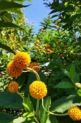 Corona Plant