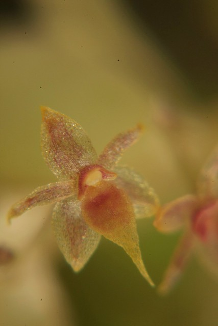Smallest Orchid in the world