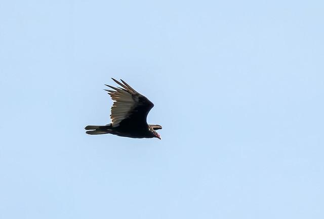 Turkey vulture / Kalkúnahrævi (Cathartes aura)