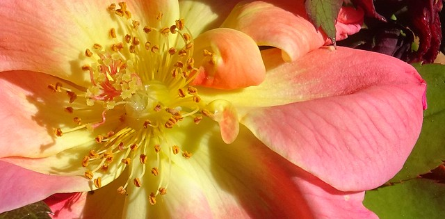 Interior of rose