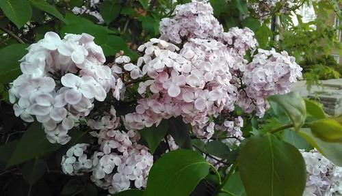 Lilacs in bloom, St. Clair Avenue West #toronto #stclairave #stclairwestvillage #flowers #lilacs