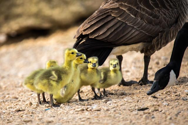 4 Brave Chicks