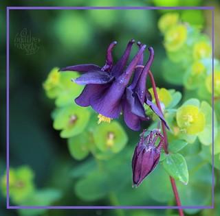 Aquilegea purple
